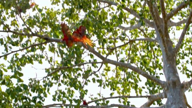 SLO MO Macaws matting on a tree video