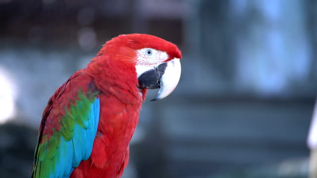 Macaws video