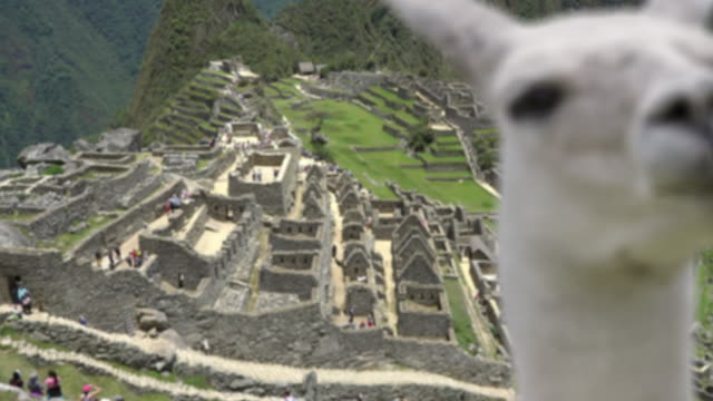 machu picchu with llama focus change and zoom from llama to background - south america travel stock videos and b-roll footage