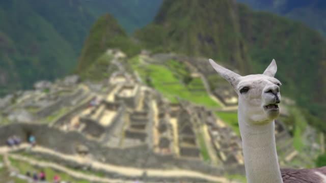 machu picchu mit lama fokus wechselt von lama zu hintergrund - peru stock-videos und b-roll-filmmaterial