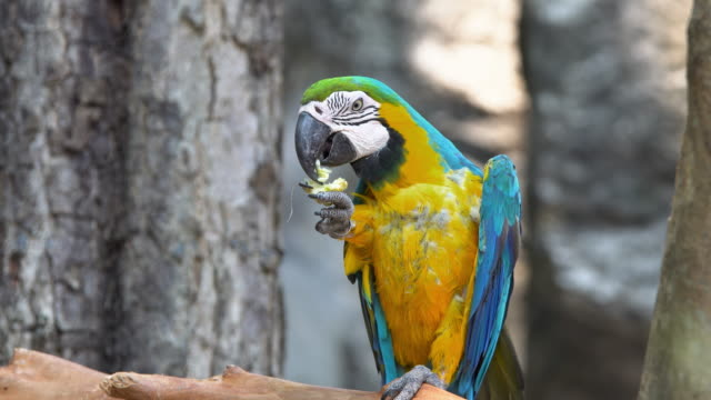 Macore bird parrot video