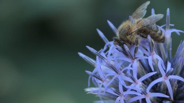 macro-bee på vajande tistel blomma - vild blomma bildbanksvideor och videomaterial från bakom kulisserna