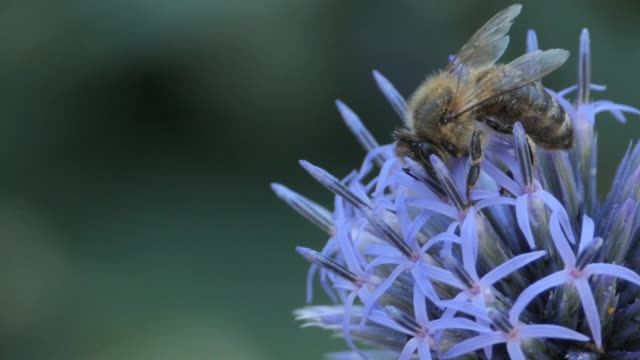 Macro- bee on swaying thistle flower video