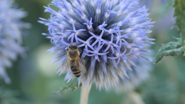 Macro- bee on thistle video