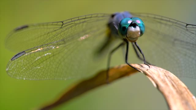 macro blue dragonfly blowing in wind on plant, looking at camera - insetto video stock e b–roll