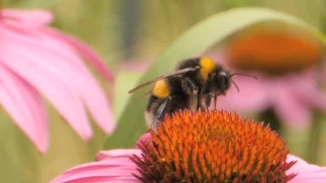 Macro bumblebee flies away- slow motion video