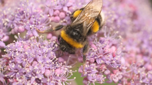 Macro bumblebee on pink flower- slow motion