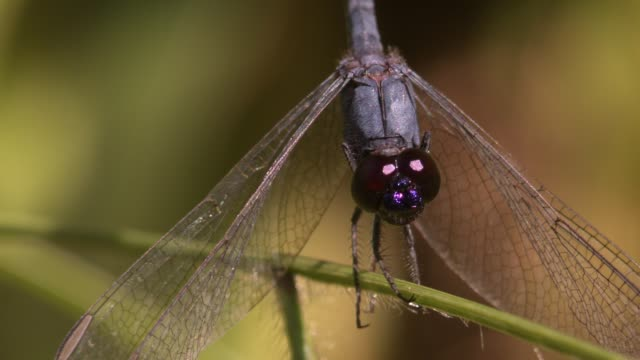 macro close-up frontal shot of blue dragonfly on plant stem facing the camera twitching its head filmed in the wild with natural light - torace animale video stock e b–roll