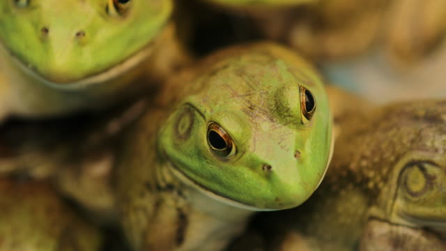 Macro close-up of frogs gathered together inside pond in 4K Macro close-up of frogs gathered together inside pond in 4K amphibian stock videos & royalty-free footage
