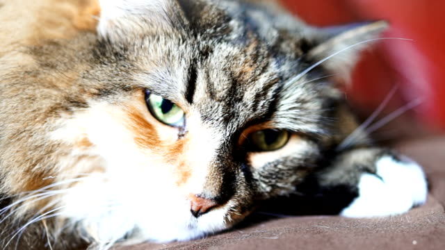 Macro closeup of maine coon cat's eyes lying down on couch trying to sleep video