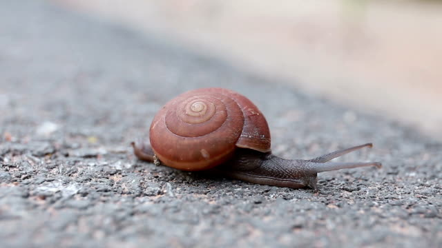 Macro close-up of snail on the road is moving slow. video