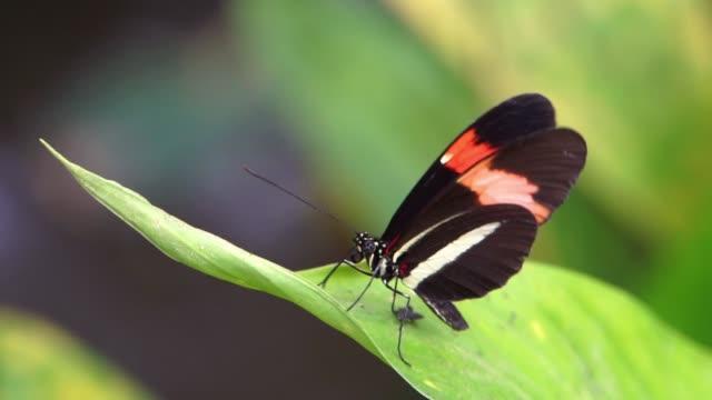 一隻來自哥斯大黎加、美洲的熱帶昆蟲蝴蝶的宏觀特寫肖像 - postal worker 個影片檔及 b 捲影像