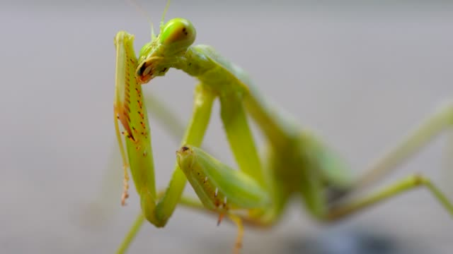 macro closeup praying mantis rubbing it's head and cleaning itself This epic macro, super closeup video shows a praying mantis rubbing it's head and cleaning itself. arthropod stock videos & royalty-free footage
