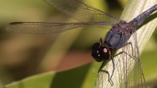 macro close-up profile shot of blue dragonfly twitching its head to right before taking flight filmed in the wild with natural light - torace animale video stock e b–roll