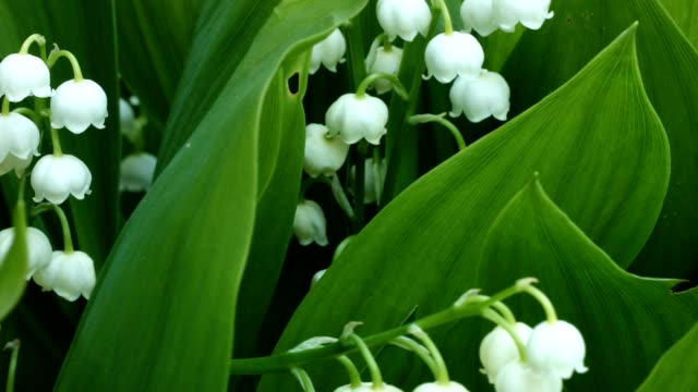 Macro dolly: Lily-of-the-valley in spring video