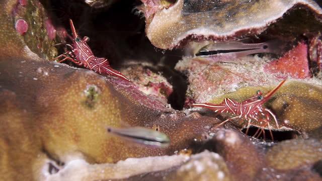Macro footage Dancing Shrimp on coral reef