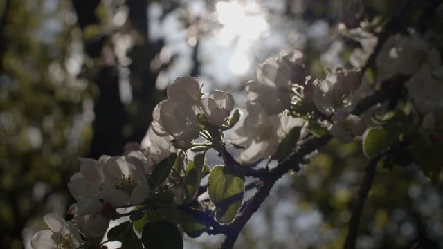 Macro front view of blooming tree branch backlit with natural sun light slow motion. White blossoming flowers waving on wind close up sunlit in spring garden. Love new life awakening concept
