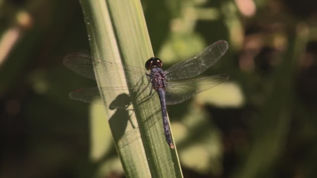 macro full body shot of beautiful blue dragonfly transparent wings casting a natural shadow on grass as it cleans itself - torace animale video stock e b–roll