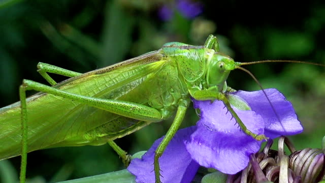 Macro, Gluttonous Locust Insect Sitting on a flower video