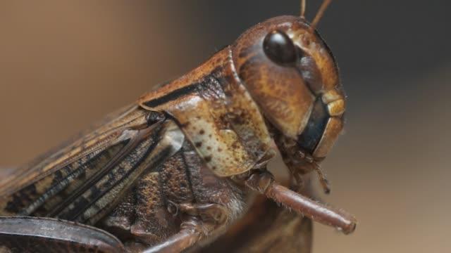 makro-heuschrecken springt weg - grashüpfer stock-videos und b-roll-filmmaterial