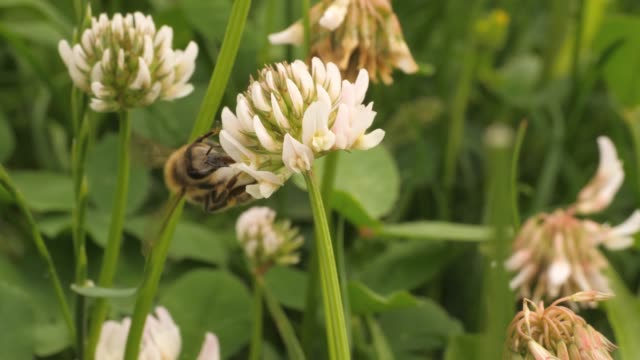 Macro honey bee on clover flower Macro shot of honey bee crawling on head of clover flower, collecting nectar.  Be moeves from one flower to another. A group of clover flowers is in the background, with soft focus. shamrock stock videos & royalty-free footage