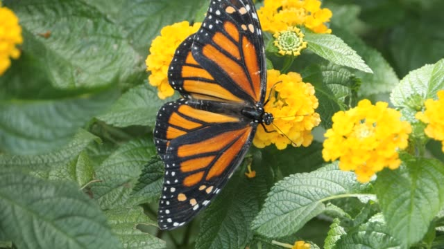 Macro Monarch butterfly walking on flower and collecting nectar