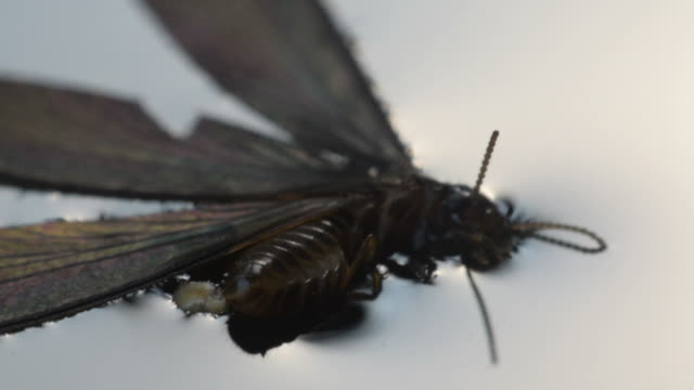 Macro of alate insect on water video