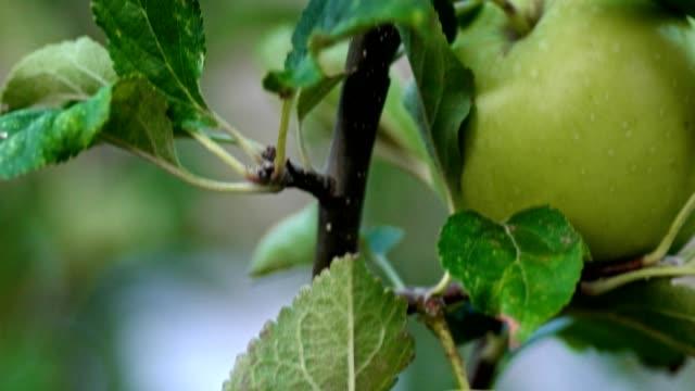 その枝に緑の未熟なリンゴの果実を持つアップルの木のマクロ - 熟していない点の映像素材/bロール