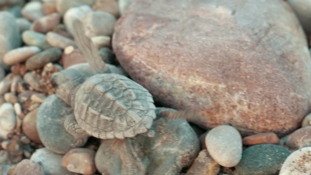 Macro of baby turtle on stone beach. Small turtle crawling on pebbles to sea