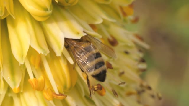 macro of bee collecting nectar - ape domestica video stock e b–roll