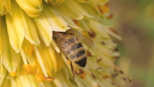 makro av bee samla nektar - pollinering bildbanksvideor och videomaterial från bakom kulisserna