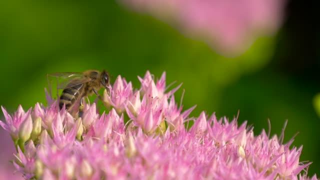 macro of bee gathering pollen from milkweed - ape operaia video stock e b–roll
