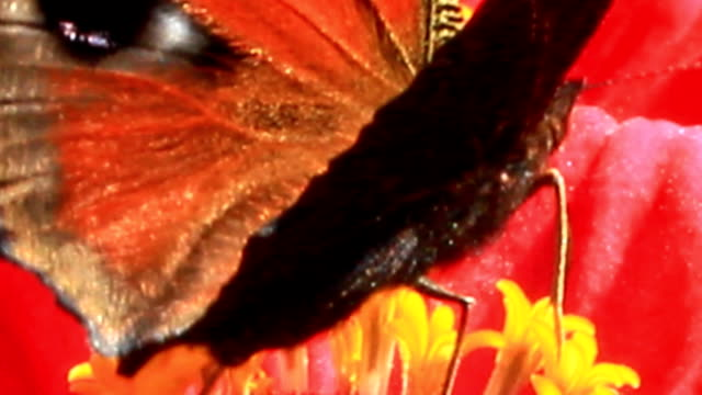 macro of butterfly peacock eye collecting nectar on the zinnia video