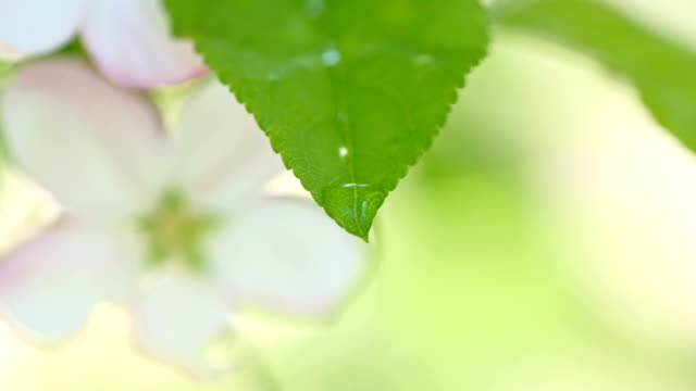 SLO MO Macro of drops dripping off the leaf video
