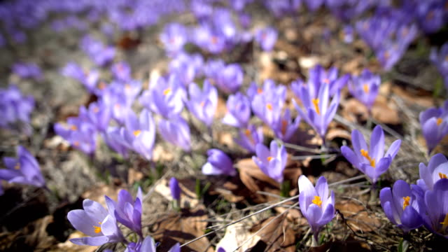 vídeos de stock, filmes e b-roll de macro de flores de corcus roxo e branco na grama - flor temperada