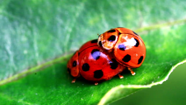Macro of red ladybug mating on leaf in the garden video