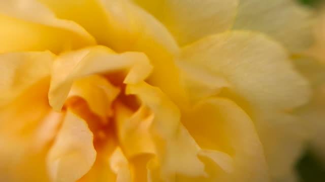 macro , petalo di fiore giallo - disordine affettivo stagionale video stock e b–roll