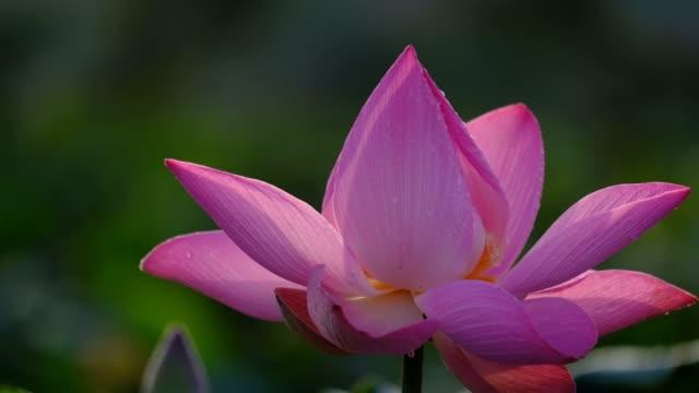vídeos de stock, filmes e b-roll de foto macro de uma flor de lótus rosa - lotus