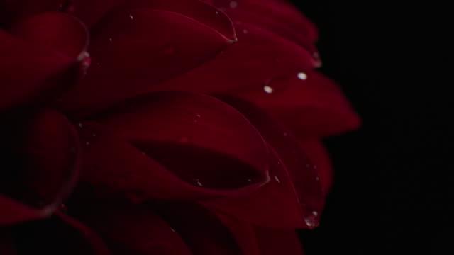 macro rotate shot of dahlia flower studio shot on black background - нивяник стоковые видео и кадры b-roll