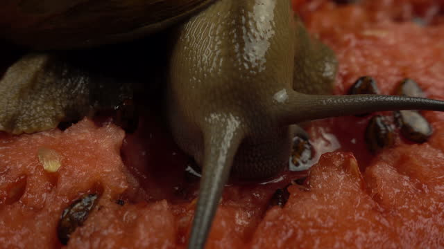 Macro Shoot of giant african snail on a watermelon. Archachatina marginata var. ovum snail slowly eating juicy watermelon. Summer background.