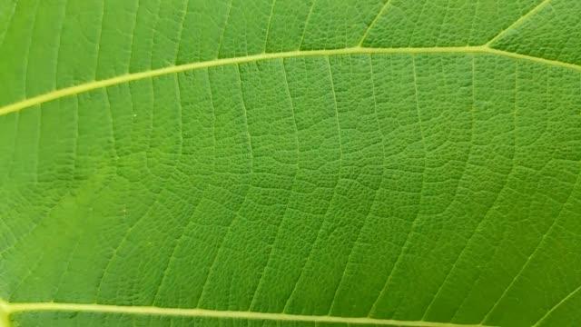vidéos et rushes de macro a tiré de près se concentrer sur une feuille de teck vert (tectona grandis). - nervure
