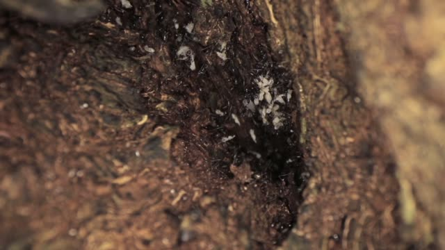 vídeos y material grabado en eventos de stock de macro disparo de un montón de hormigas moviéndose rápido dentro del árbol - insecto himenóptero