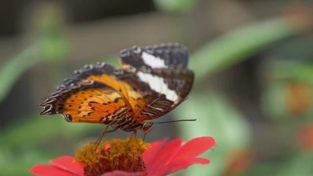 makro skott av en färgglad fjäril dricker blommigt juice. slow motion - pollinering bildbanksvideor och videomaterial från bakom kulisserna