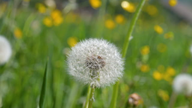 Macro shot of a dandelion on a green spring meadow in the wind