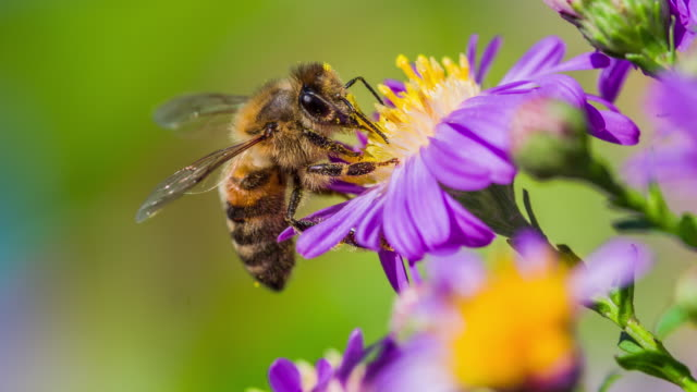 makro skott av en honungsbiet att samla in pollen - slow motion - pollinering bildbanksvideor och videomaterial från bakom kulisserna