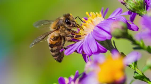 macro shot of a honey bee collecting pollen - slow motion - pszczoła filmów i materiałów b-roll