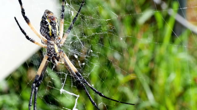 Macro shot of a Large Signature Spider Sitting in the Center of her Web video
