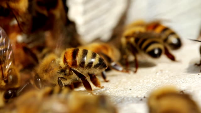 macro shot of bees at the hive entrance - ape regina video stock e b–roll