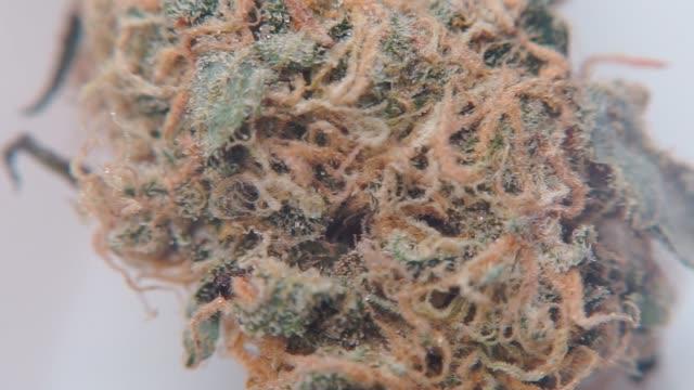 makro skott av medicinsk marijuana. - thc bildbanksvideor och videomaterial från bakom kulisserna