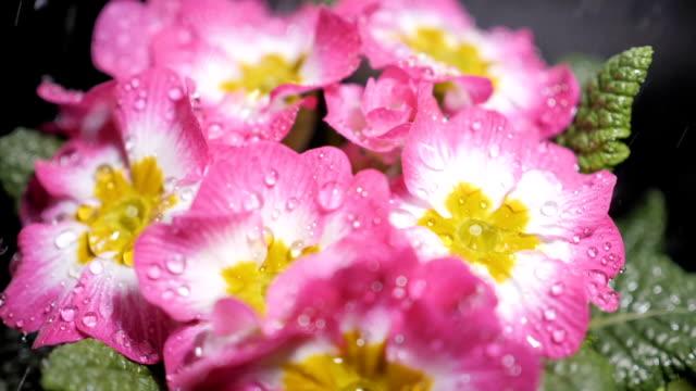 Macro shot of Pink primrose flower with water drops. Dew drops falling on flower petals. Raindrops falling off a flower close up. Purple flower petals with water drops on it. Slow motion.